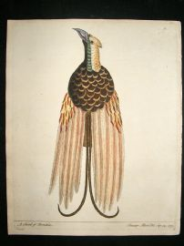 Albin: 1730's Hand Colored Bird Print. Bird of Paradise